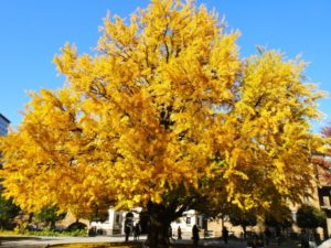 Ginkgo tree in fall with yellow leaves