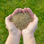 hands holding grass seed over green lawn