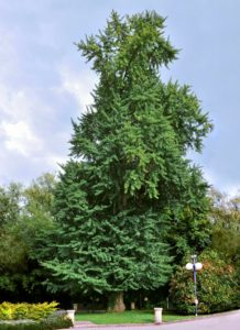 mature ginkgo tree