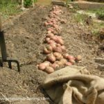 row of newly dug potatoes