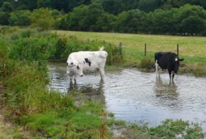 two cows standing in a creek