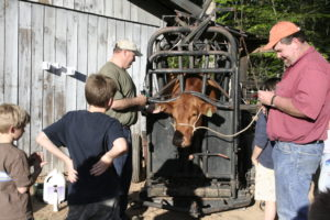 two men working cattle at a chute with two young boys watching