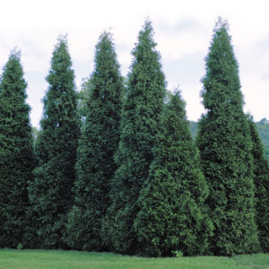 green giant arborvitae in a row