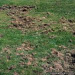 lawn with holes and damage from grubs
