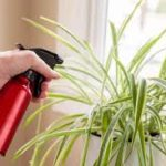 hand holding a spray bottle misting a houseplant
