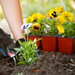 gloved hands planting pansies in garden