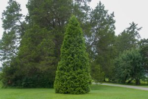 one virginian arborvitae in a lawn