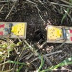 mouse traps set on each side of a vole hole