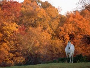 white horse in a pasture in front of trees in autumn