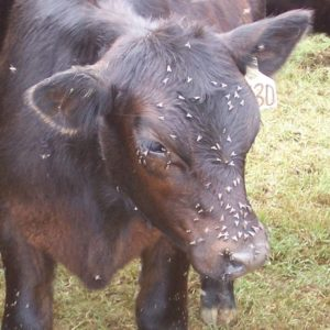 Cow with flies on face