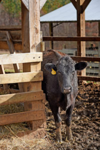 black cow with ear tag in barn