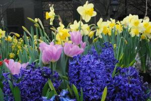 purple hyacinth, pink tulips, yellow daffodils