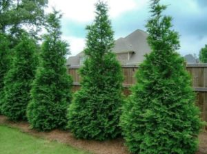 row of arborvitae trees