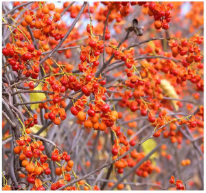 bright orange berries on american bittersweet shrub