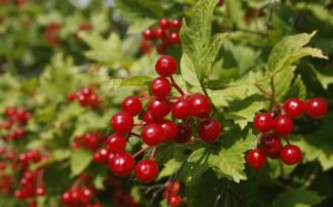 bright red berries on American Cranberry shrub