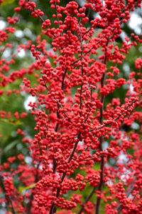 bright red berries on winterberry shrub