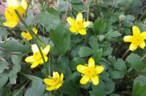 buttercup with yellow blooms