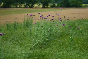 pasture with thistle in bloom