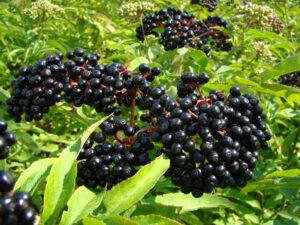 elderberry plant with berries on it