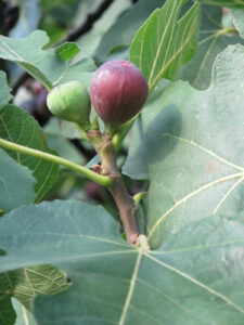 fig growing on a fig tree