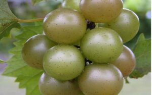 bronze muscadines hanging on a vine