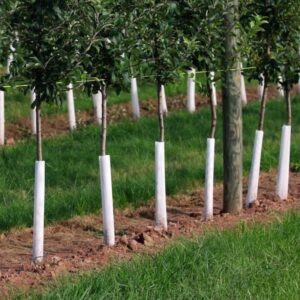 row of fruit trees with guards around the trunks