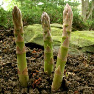asparagus sprigs growing in a garden