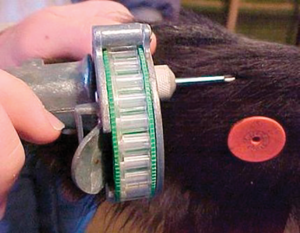 inserting implant in calf ear