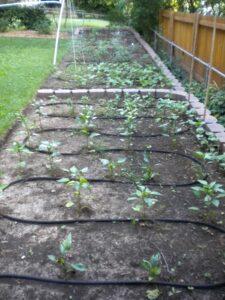 soaker hose in garden between rows of plants