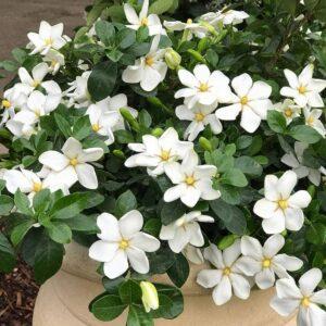Kleims Hardy Gardenia with white blooms