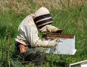beekeeper collecting a swarm of honeybees