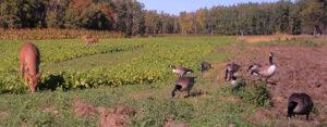 deer and turkey in food plot