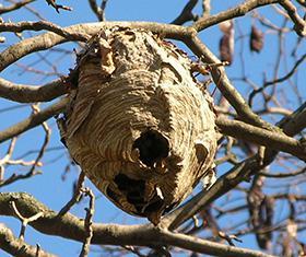 hornet nest in tree